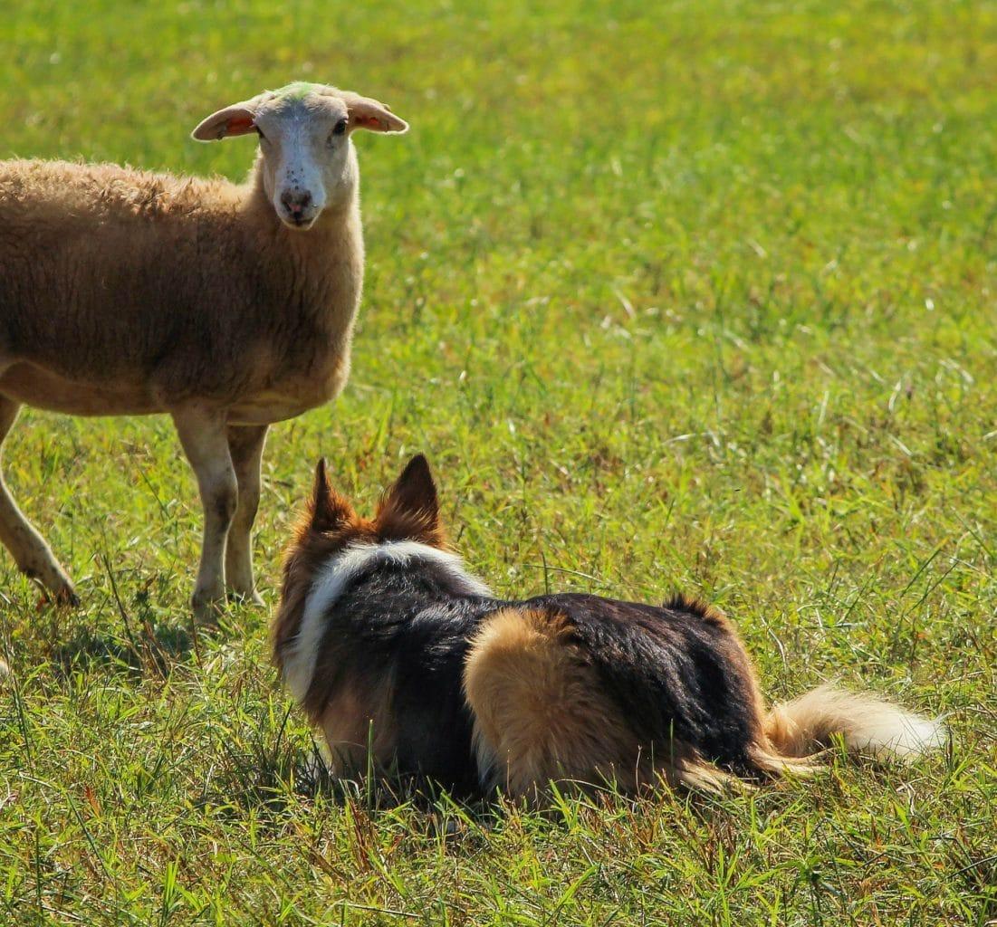 Federația Coaliția Natura 2000 susține întărirea normelor privind câinii de la stână