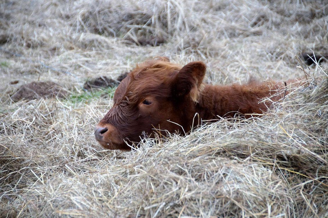 De ce raman fermierii fara animale