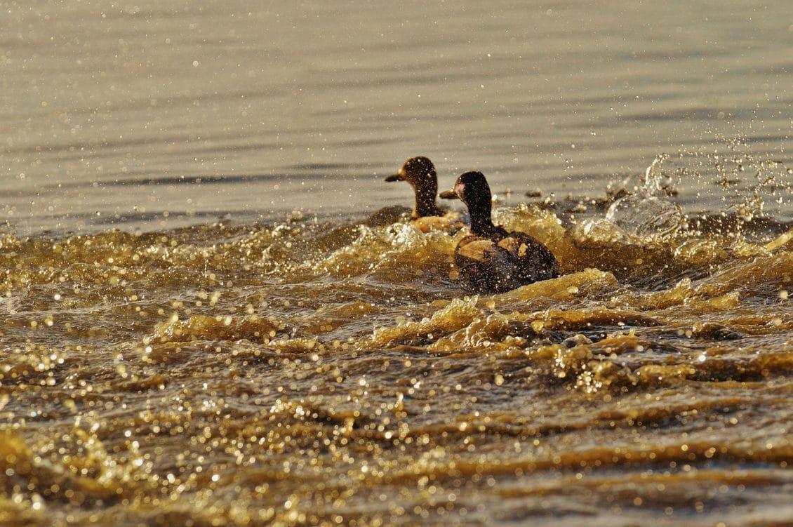 ANSVSA îl caută pe ucigașul H5N8. Găsitorului i se vor tăia păsările.