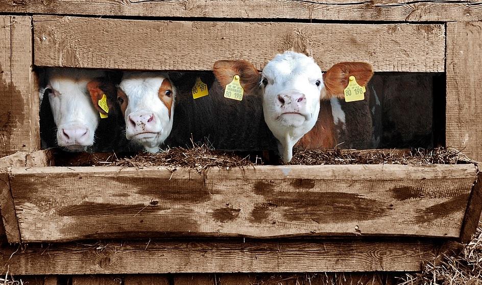 Covasna: DSVSA controlează peste 300 de ferme. În funcţie de rezultate se vor acorda subvenţiile