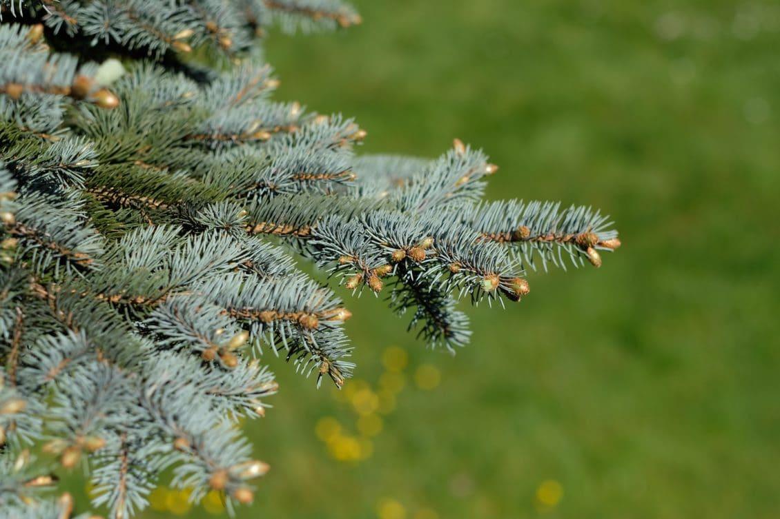 Romsilva scoate la vânzare peste 61.000 de pomi de Crăciun