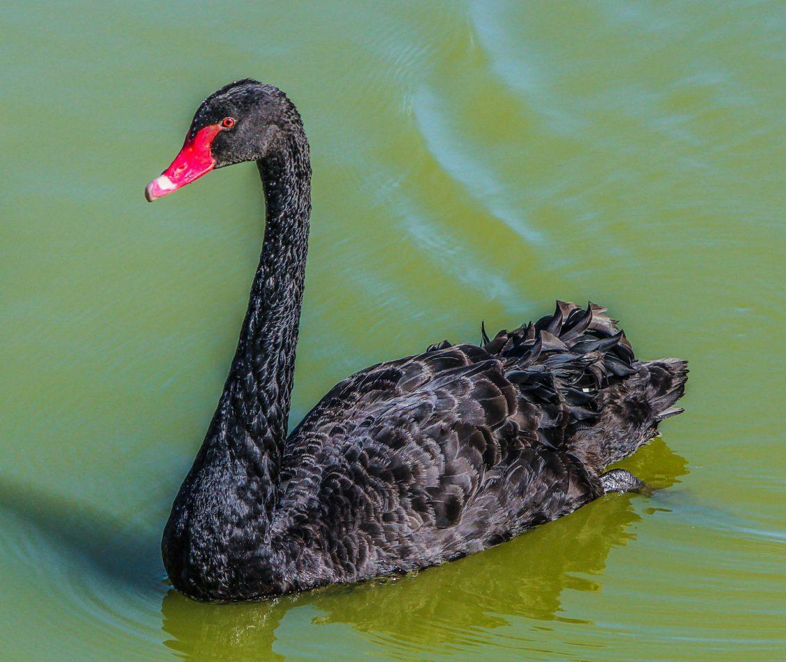 Galați: Caz de gripă aviară constatat în Ivești la o lebădă neagră, în apropierea unei ferme avicole