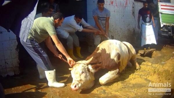EXPORTUL DE ANIMALE VII RAMANE UN SUBIECT PROBLEMATIC PENTRU ROMANIA